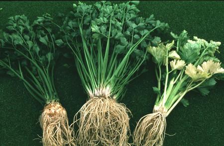 Cần tây - một loại thực phẩm có tác dụng chữa nhiều bệnh khác nhau.
