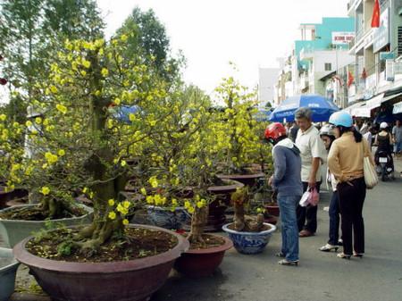 Giá hoa mai tăng cao gấp 2-3 lần năm ngoái