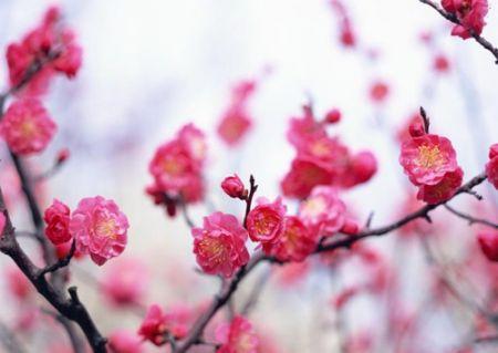 Hoa đào có tác dụng hoạt huyết, rất tốt cho làn da.