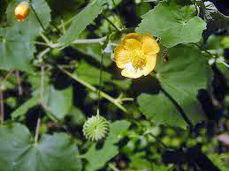 Hoa cối xay có tác dụng làm tăng tinh dịch ở nam giới