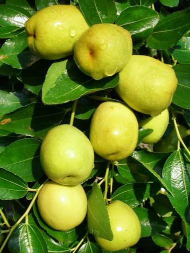 Các bộ phận của cây táo đều có những tác dụng phòng và chữa bệnh hiệu quả.