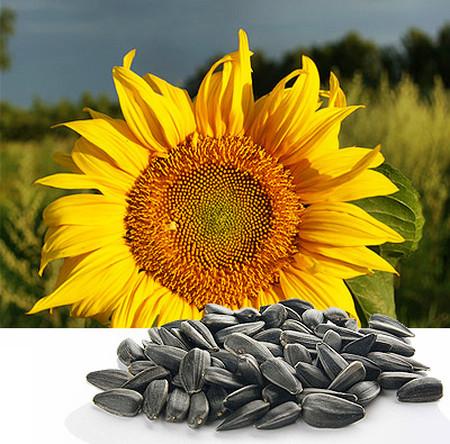 Hạt hướng dương rất giàu vitamin E, giúp bảo vệ trí nhớ của bạn.