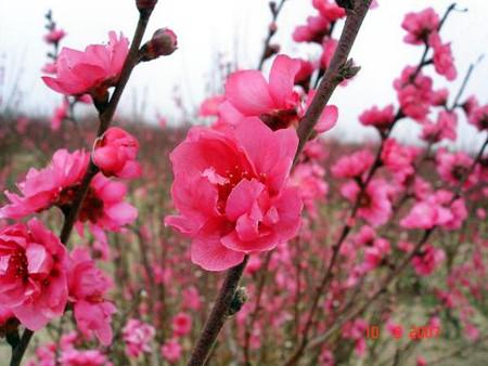 Hoa đào tươi hay khô đều có thể dùng làm thuốc.
