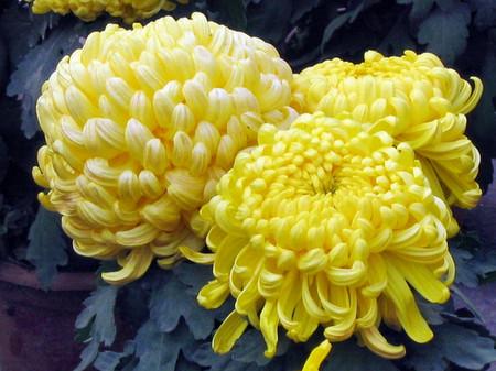 Hoa cúc 1