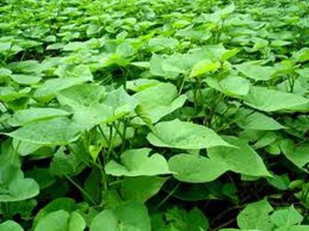 Rau lang là loại rau dân dã, tốt cho phụ nữ mang thai.