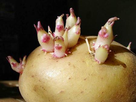 Không nên sử dụng khoai tây đã mọc mầm.