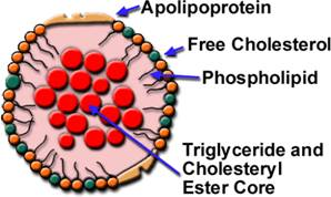 Cấu trúc của lipoprotein.