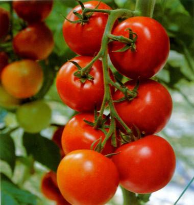 2. Cà chua 1