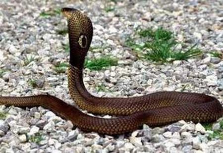 Khi bị rắn cắn, cần nhận diện rắn độc hay rắn lành bằng cách nhìn vết cắn.
