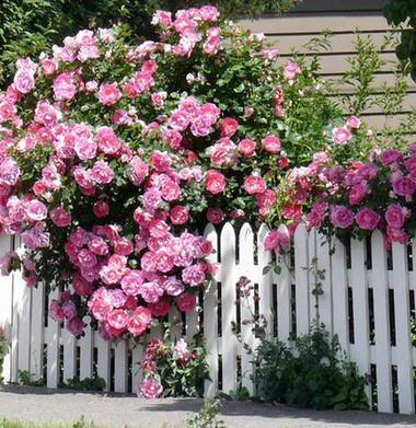 Trồng hoa hồng dọc theo hàng rào 1