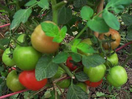Chỉ nên sử dụng các loại rau quả chin tự nhiên để đảm bảo sức khỏe.