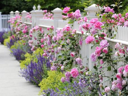 Trồng hoa hồng dọc theo hàng rào 2