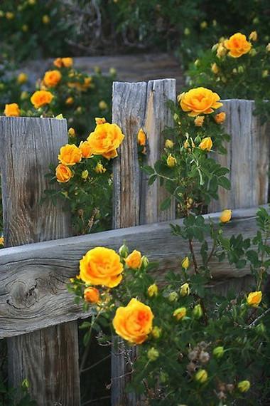 Trồng hoa hồng dọc theo hàng rào 4