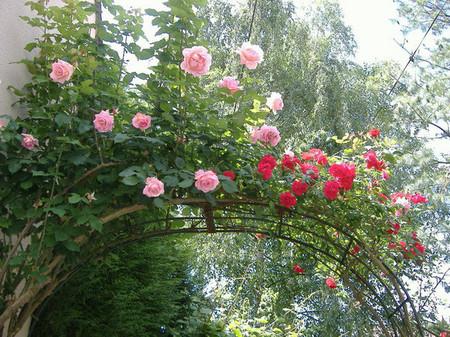 Trồng hoa hồng ở cổng và lối vào nhà 2