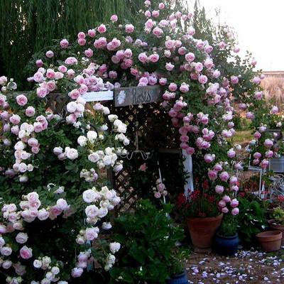 Trồng hoa hồng ở cổng và lối vào nhà 3