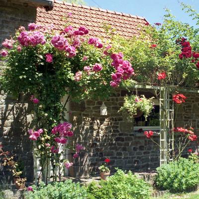 Trồng hoa hồng ở phía trước cửa 1