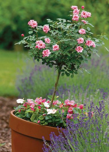 Trồng các khóm hoa hồng trong vườn 1