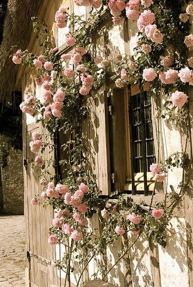 Trồng các khóm hoa hồng trong vườn 2