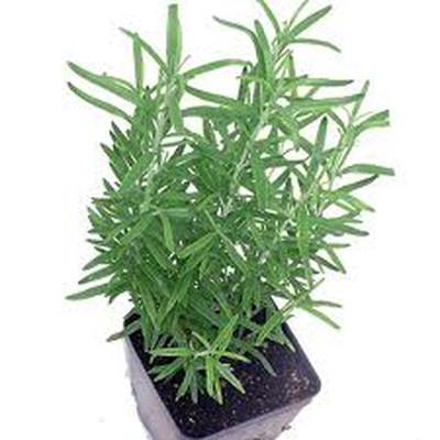 6. Lá cây hương thảo 1