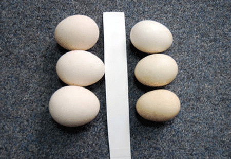 Trứng gà ta giả (trái) có màu trắng phớt hồng và to hơn trứng thật (phải).