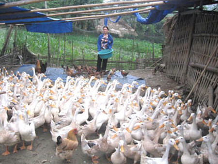 Toàn bộ số vịt đưa vào giết mổ, tiêu thụ là vịt đẻ, tất cả đều được đóng gói sang Trung Quốc.