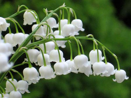 Hoa lan chuông 1