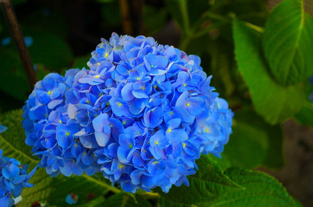 Hoa cẩm tú cầu 1