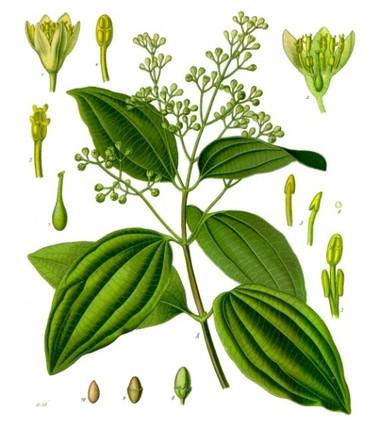 Một số loại tinh dầu có tác dụng giải độc trong cơ thể 2