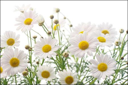 Chamomile là loại thảo dược chăm sóc làn da dễ bị kích ứng.