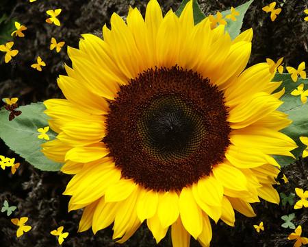 Hoa hướng dương: 1