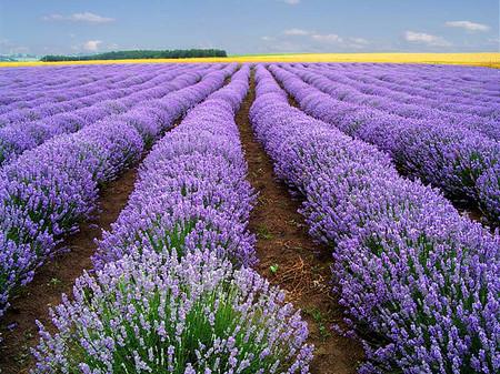 Hoa oải hương: 1