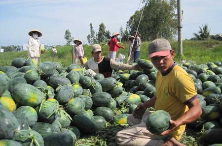 Những ruộng dưa còn thu hoạch vào thời điểm này ít nên xảy ra tình trạng khan hiếm hàng.