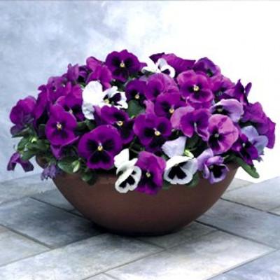 Hoa Viola 1