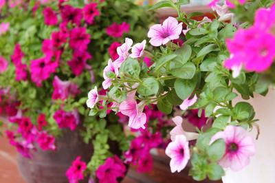 Hoa dạ yến thảo 1