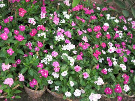 Hoa dừa cạn 1