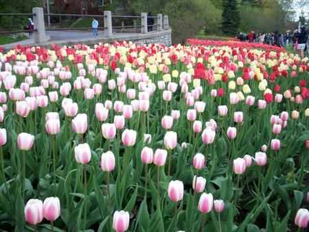 Hoa tuylip rực rỡ sắc màu của mùa xuân.