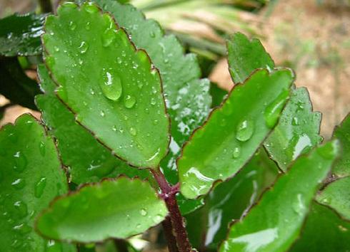 3.3 Chữa bệnh lòi dom bằng cây lá bỏng 1