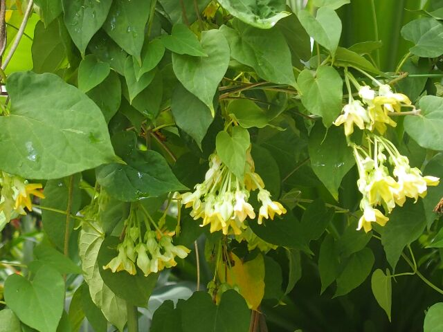 3.2 Chữabệnh lòi dom bằng cây hoa thiên lý 1